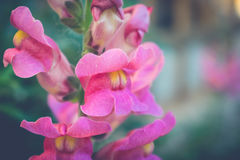 Flower antirrhinum Royalty Free Stock Photo