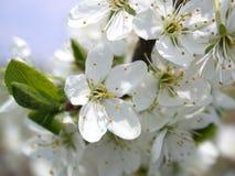 Flower of the aple trees. Springtime, aple tree in flower Royalty Free Stock Photo