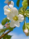 Flower of apple stock photo