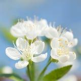 Flower of apple tree Stock Image