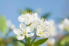 Flower of apple tree Royalty Free Stock Images