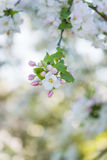 Flower of apple tree in apple orchard. Stock Images