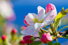 Flower of apple tree Royalty Free Stock Photography