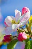 Flower of apple tree Stock Photos