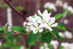 Flower apple tree Royalty Free Stock Photography