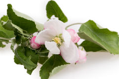 Flower apple tree Stock Images