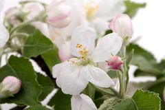 Flower apple tree Stock Photo