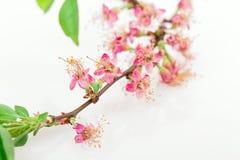 Flower apple tree Stock Photos