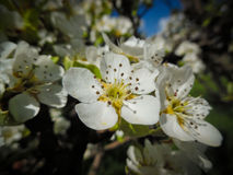 Flower of the apple tree (Malus domestica) Stock Image