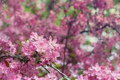 Flower of apple tree Royalty Free Stock Image