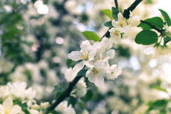 Flower apple tree sunset macro Royalty Free Stock Photography