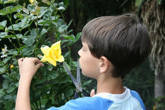 Flower appretiation. Child cutting a yellow rose Royalty Free Stock Photography
