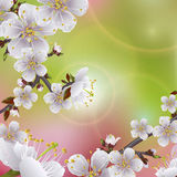 Flower apricot. Flowering branch of apricot. Beautifull spring background royalty free illustration