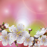 Flower apricot. Flowering branch of apricot. Spring background stock illustration