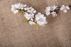 Flower of apricot on sack material Royalty Free Stock Photography