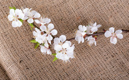 Flower of apricot on sack material Royalty Free Stock Photo