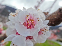 Flower of the Apricot tree (prunus armeniaca). Prunus armeniaca is a small tree, 8–12 m (26–39 ft) tall, with a trunk up to 40 cm (16 in) in diameter and a Royalty Free Stock Images