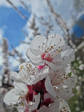 Flower of the Apricot tree (prunus armeniaca). Prunus armeniaca is a small tree, 8–12 m (26–39 ft) tall, with a trunk up to 40 cm (16 in) in diameter and a Royalty Free Stock Photo