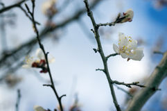 The flower of a apricot tree which blooms on the way Stock Photography