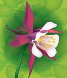 Flower aquilegia Stock Photos