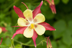 Flower aquilegia closeup Royalty Free Stock Photography