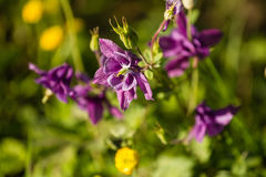 Flower of aquilegia in the garden in the glare of the setting su Stock Photos