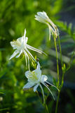 Flower of aquilegia in the garden in the glare of the setting su. N Royalty Free Stock Photography