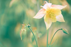 Flower of aquilegia on a gentle green background. Selective focus. Stock Images