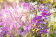Flower aquilegia in the sunlight Royalty Free Stock Photography