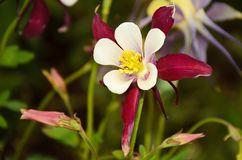Flower aquilellia close-up with petals of white and burgundy color. Pestle and stamens are visible, next to buds not yet opened royalty free stock images