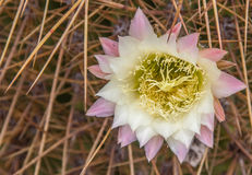 Flower of the Argentine Giant Cactus Stock Image