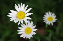 Flower of Argyranthemum Royalty Free Stock Images
