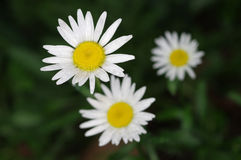 Flower of Argyranthemum Stock Photo