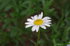 Flower of Argyranthemum Royalty Free Stock Photography