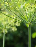 Flower of aromatic dill or fennel Royalty Free Stock Photography