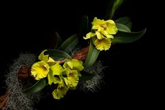 Light green cattleya orchids background. Flower arrangement with beautiful light green cattleya orchids against dark background royalty free stock photo