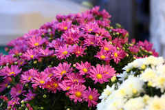 Flower Arrangement Of Mums. A beautiful arrangement of garden mums.  This would make a nice photo for a magazine or book, or even a background Royalty Free Stock Photography