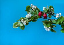 Two cute red birds sit on the spring branches of a blooming apple tree on a blue background.