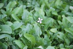 Flower of the arugula in the orchard. Flower of the arugula in the organic garden royalty free stock photography