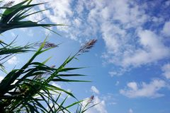 Flower of Arundo donax, top of giant plant under the blue cloudy sky stock photo