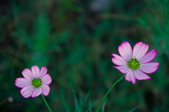 FLOWER. Asian flowers blooming in spring Royalty Free Stock Image
