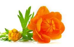 Flower of Asian Globeflower Stock Images