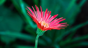 Flower of Aster Stock Image