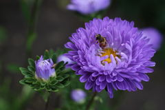 Flower  Aster with a bee. Flower  violet Aster with a bee in the garden Royalty Free Stock Images