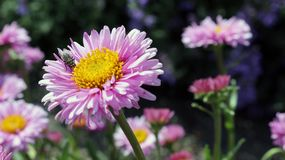 Flower, Aster, Daisy Family, Flowering Plant Royalty Free Stock Image