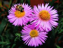Flower, Aster, Honey Bee, Flora Royalty Free Stock Image