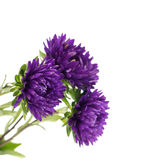 Flower aster isolated on white Royalty Free Stock Photo
