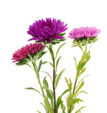 Flower aster isolated on white Stock Photography