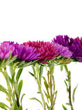 Flower aster isolated on white Royalty Free Stock Photos