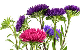 Flower aster isolated on white Royalty Free Stock Images